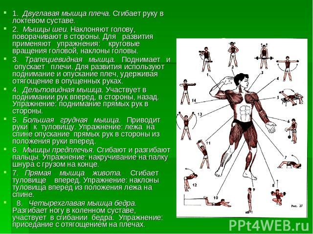 Строение мышц 1. Двуглавая мышца плеча. Сгибает руку в локтевом суставе. 2. Мышцы шеи. Наклоняют голову, поворачивают в стороны. Для развития применяют упражнения: круговые вращения головой, наклоны головы. 3. Трапециевидная мышца. Поднимает и опуск…