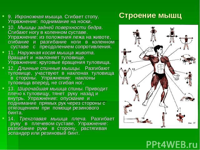 Строение мышц 9. Икроножная мышца. Сгибает стопу. Упражнение: поднимание на носки. 10. Мышцы задней поверхности бедра. Сгибают ногу в коленном суставе. Упражнение: из положения лежа на животе, сгибание и разгибание ноги в коленном суставе с преодоле…