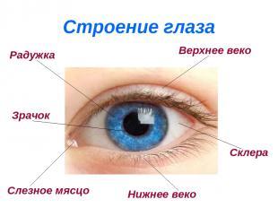 Строение глаза Радужка Верхнее веко Нижнее веко Склера Слезное мясцо Зрачок
