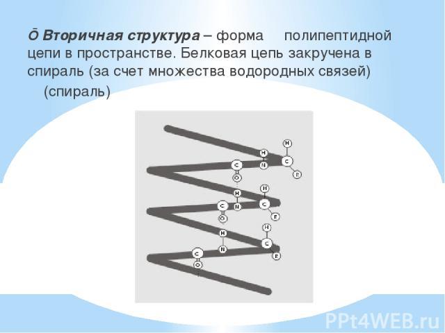 ■ Вторичная структура – форма полипептидной цепи в пространстве. Белковая цепь закручена в спираль (за счет множества водородных связей) (спираль)