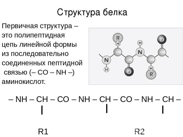 Первичная структура – это полипептидная цепь линейной формы из последовательно соединенных пептидной связью (– CO – NH –) аминокислот. – NH – CH – CO – NH – CH – CO – NH – CH – R1 R2 R3 Структура белка