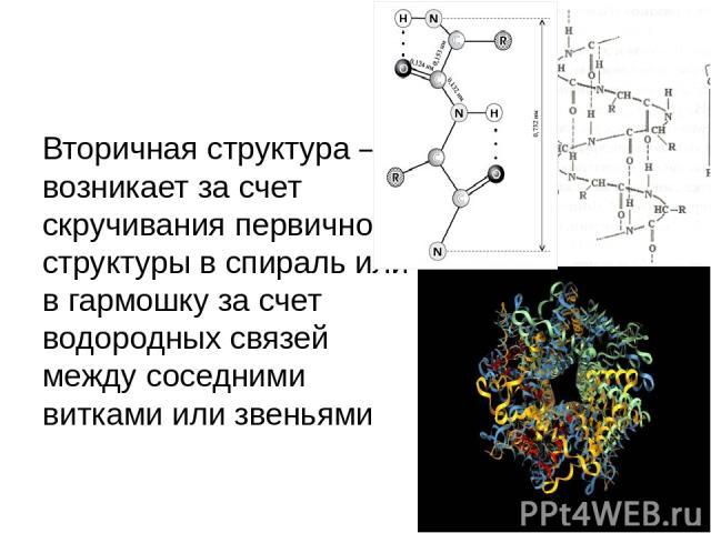 Вторичная структура – возникает за счет скручивания первичной структуры в спираль или в гармошку за счет водородных связей между соседними витками или звеньями