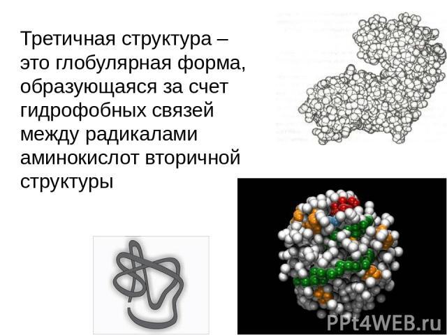 Третичная структура – это глобулярная форма, образующаяся за счет гидрофобных связей между радикалами аминокислот вторичной структуры