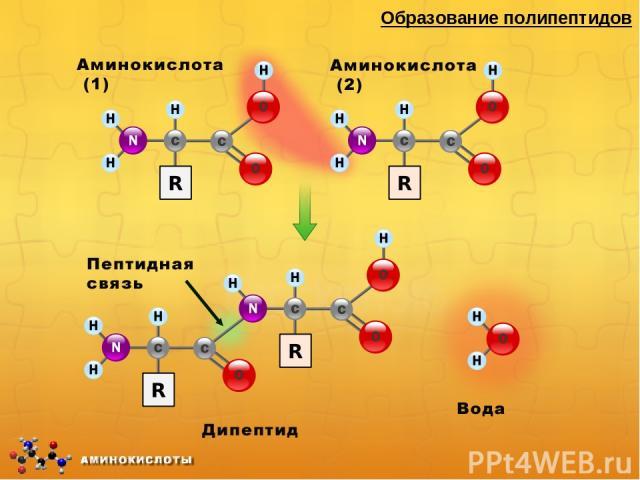 Образование полипептидов