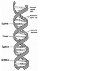 ДНК представляет собой двойную нить, скрученную в спираль. Каждая нить состоит и