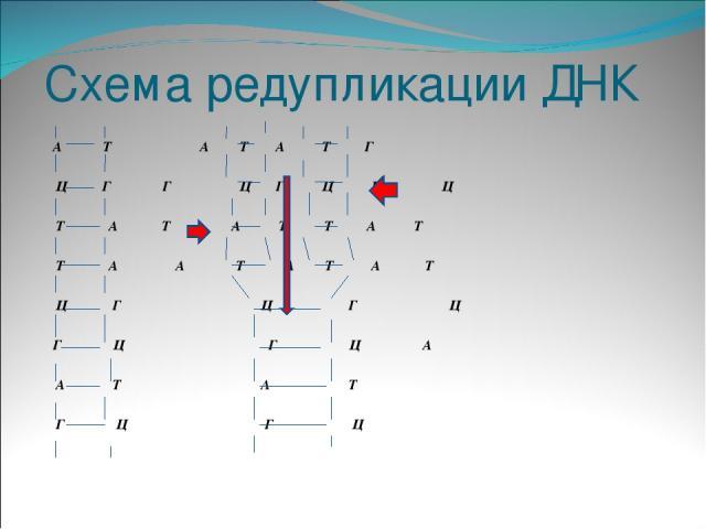 А Т А Т А Т Г Ц Г Г Ц Г Ц Г Ц Т А Т А Т Т А Т Т А А Т А Т А Т Ц Г Ц Г Ц Г Ц Г Ц А А Т А Т Г Ц Г Ц Схема редупликации ДНК