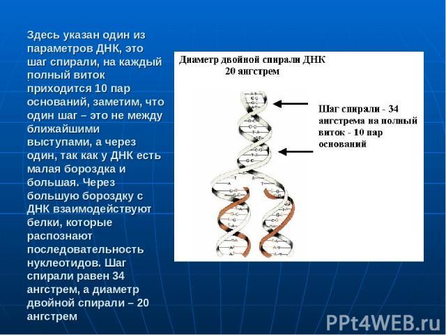 Здесь указан один из параметров ДНК, это шаг спирали, на каждый полный виток приходится 10 пар оснований, заметим, что один шаг – это не между ближайшими выступами, а через один, так как у ДНК есть малая бороздка и большая. Через большую бороздку с …