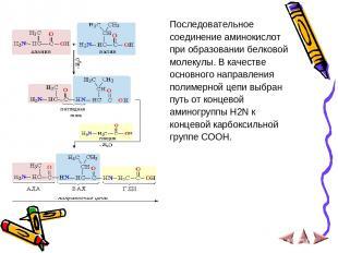 Последовательное соединение аминокислот при образовании белковой молекулы. В кач