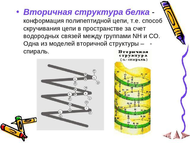 Вторичная структура белка - конформация полипептидной цепи, т.е. способ скручивания цепи в пространстве за счет водородных связей между группами NH и CO. Одна из моделей вторичной структуры – α- спираль.