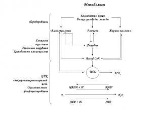 Компоненты пищи Белки, углеводы, липиды Глюкоза Жирные кислоты Аминокислоты Пиру