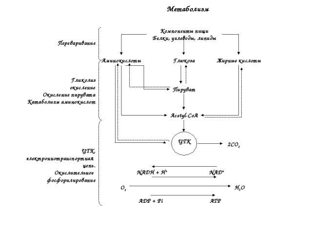 Компоненты пищи Белки, углеводы, липиды Глюкоза Жирные кислоты Аминокислоты Пируват Acetyl-CoA ЦТК NADH + H+ NAD+ ADP + Pi ATP O2 H2O 2CO2 Переваривание Гликолиз Β окисление Окисление пирувата Катаболизм аминокислот ЦТК. электроннотранспортная цепь.…