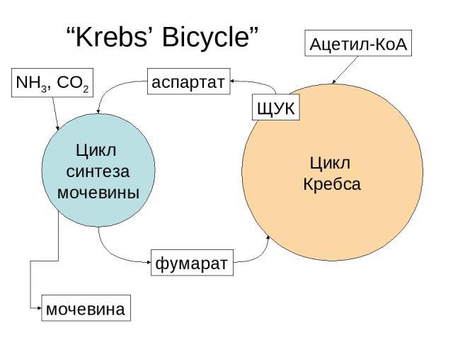 "Цикл Кребса Цикл синтеза мочевины аспартат фумарат ЩУК мочевина Ацетил-КоА ""Krebs' Bicycle"" NH3, CO2"