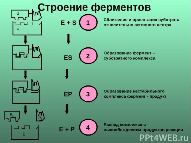 Е S E + S ES EP E + P Сближение и ориентация субстрата относительно активного центра Образование фермент – субстратного комплекса Образование нестабильного комплекса фермент - продукт Распад комплекса с высвобождением продуктов реакции Строение ферментов