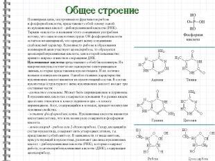 Общее строение Полимерная цепь, построенная изфрагментов рибозы ифосфорной кис