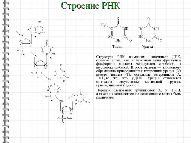 Структура РНК вомногом напоминает ДНК, отличие втом, что в основной цепи фрагменты фосфорной кислоты чередуются срибозой, а несдезоксирибозой. Второе отличие— кбоковому обрамлению присоединяется гетероцикл урацил (У) вместо тимина (Т), осталь…