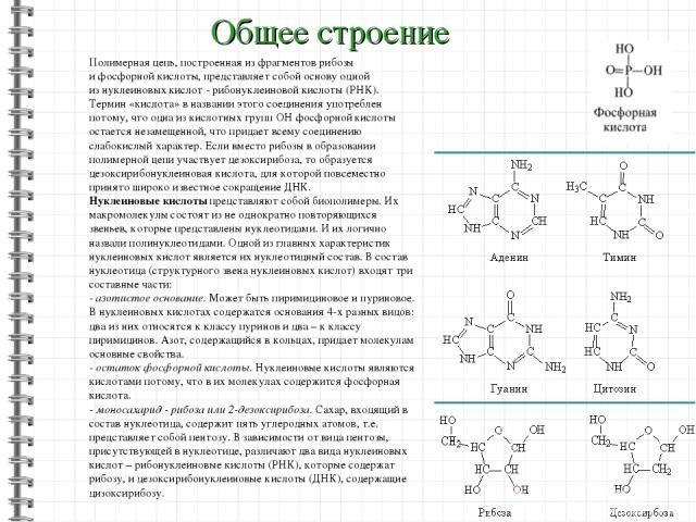 Общее строение Полимерная цепь, построенная изфрагментов рибозы ифосфорной кислоты, представляет собой основу одной изнуклеиновых кислот - рибонуклеиновой кислоты (РНК). Термин «кислота» вназвании этого соединения употреблен потому, что одна из…