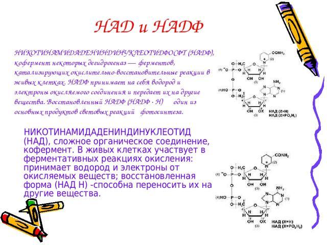 НАД и НАДФ НИКОТИНАМИДАДЕНИНДИНУКЛЕОТИД (НАД), сложное органическое соединение, кофермент. В живых клетках участвует в ферментативных реакциях окисления: принимает водород и электроны от окисляемых веществ; восстановленная форма (НАД Н) -способна пе…