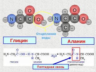 H O H H H H O C N O C H H C H H Отщепление воды Глицин Аланин Пептидная связь