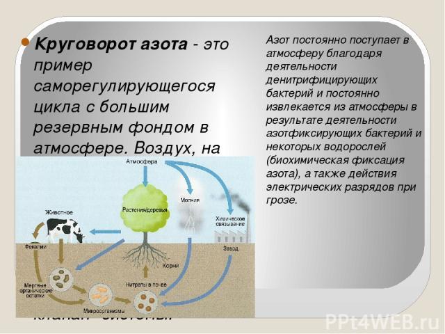 Круговорот азота- это пример саморегулирующегося цикла с большим резервным фондом в атмосфере. Воздух, на 78% состоящий из азота, представляет собой крупнейший