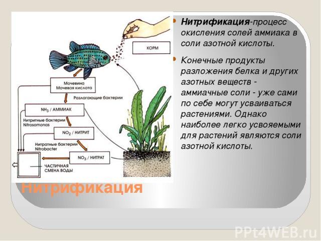 Нитрификация Нитрификация-процесс окисления солей аммиака в соли азотной кислоты. Конечные продукты разложения белка и других азотных веществ - аммиачные соли - уже сами по себе могут усваиваться растениями. Однако наиболее легко усвояемыми для раст…