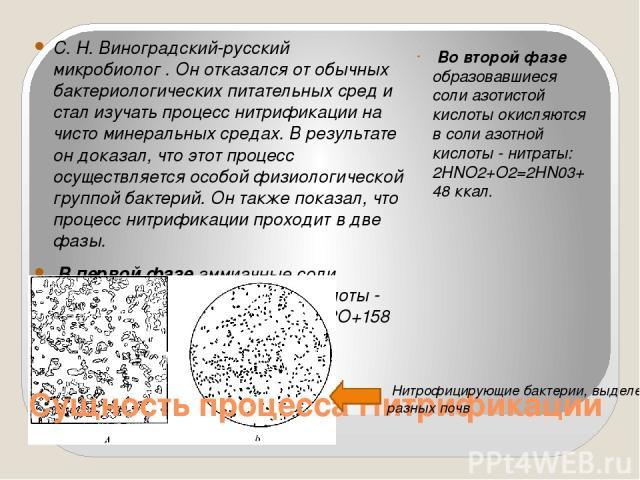 С. Н. Виноградский-русский микробиолог . Он отказался от обычных бактериологических питательных сред и стал изучать процесс нитрификации на чисто минеральных средах. В результате он доказал, что этот процесс осуществляется особой физиологической гру…