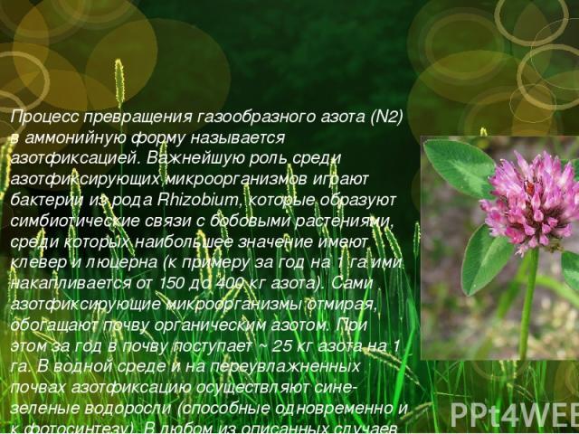 Процесс превращения газообразного азота (N2) в аммонийную форму называется азотфиксацией. Важнейшую роль среди азотфиксирующих микроорганизмов играют бактерии из рода Rhizobium, которые образуют симбиотические связи с бобовыми растениями, среди кото…