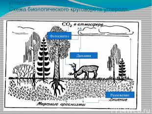 Задание №3. Схема биологического круговорота углерода. Схема биологического круг