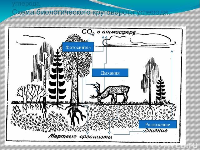 Задание №3. Схема биологического круговорота углерода. Схема биологического круговорота углерода. Фотосинтез Дыхания Разложение