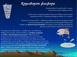 Круговорот фосфора Фосфор входит в состав генов и молекул, переносящих энергию в