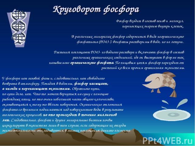 Круговорот фосфора Фосфор входит в состав генов и молекул, переносящих энергию внутрь клеток. В различных минералах фосфор содержится в виде неорганического фосфатиона (PO43-). Фосфаты растворимы в воде, но не летучи. Растения поглощают PO43- из вод…
