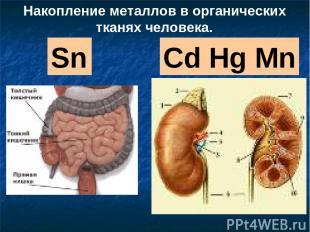 Sn Cd Hg Mn Накопление металлов в органических тканях человека.