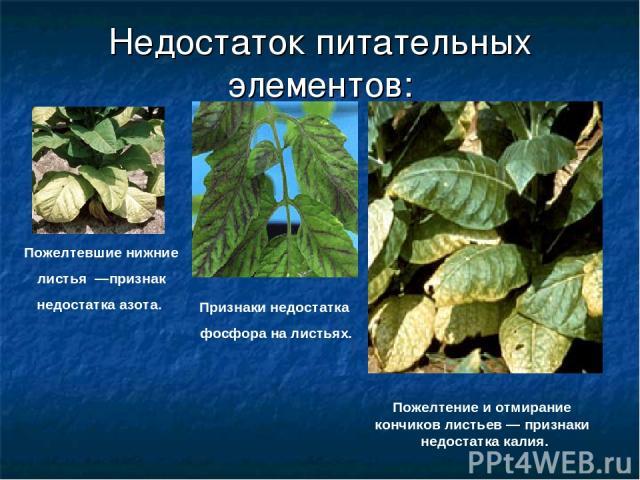 Недостаток питательных элементов: Пожелтевшие нижние листья —признак недостатка азота. Признаки недостатка фосфора на листьях. Пожелтение и отмирание кончиков листьев— признаки недостатка калия.