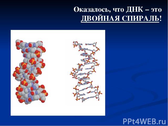 Оказалось, что ДНК – это ДВОЙНАЯ СПИРАЛЬ!
