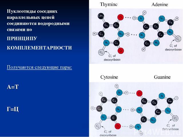 Нуклеотиды соседних параллельных цепей соединяются водородными связями по ПРИНЦИПУ КОМПЛЕМЕНТАРНОСТИ Получаются следующие пары: А=Т Г=Ц
