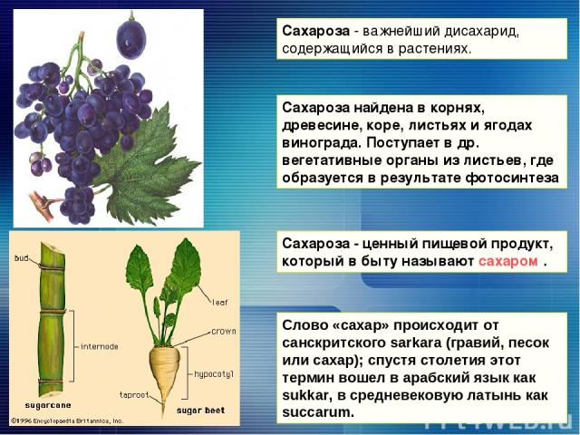 Сахароза - важнейший дисахарид, содержащийся в растениях. Сахароза - ценный пищевой продукт, который в быту называют сахаром . Сахароза найдена в корнях, древесине, коре, листьях и ягодах винограда. Поступает в др. вегетативные органы из листьев, гд…