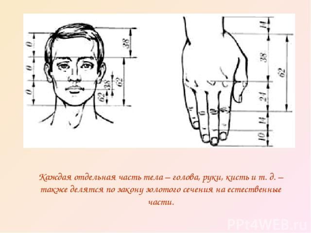 Каждая отдельная часть тела – голова, руки, кисть и т. д. – также делятся по закону золотого сечения на естественные части.