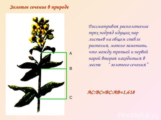 """Рассматривая расположение трех подряд идущих пар листьев на общем стебле растения, можно заметить, что между третьей и первой парой вторая находиться в месте """" золотого сечения"""" Золотое сечение в природе А В С АС:ВС=ВС:АВ=1,618"""
