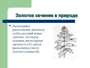 Золотое сечение в природе Рассматривая расположение листьев на стебле растений м