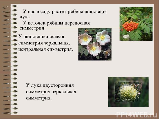 У нас в саду растет рябина шиповник лук . У веточек рябины переносная симметрия У шиповника осевая симметрия зеркальная, центральная симметрия. У лука двусторонняя симметрия зеркальная симметрия.
