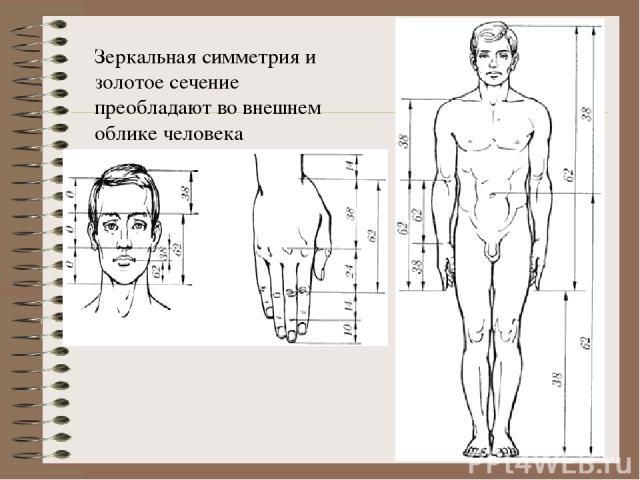 Зеркальная симметрия и золотое сечение преобладают во внешнем облике человека