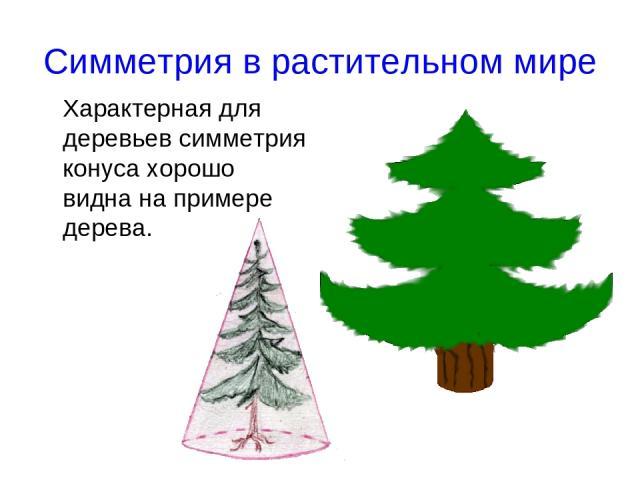 Симметрия в растительном мире Характерная для деревьев симметрия конуса хорошо видна на примере дерева.