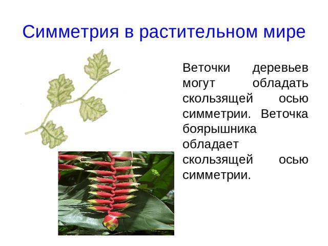 Симметрия в растительном мире Веточки деревьев могут обладать скользящей осью симметрии. Веточка боярышника обладает скользящей осью симметрии.
