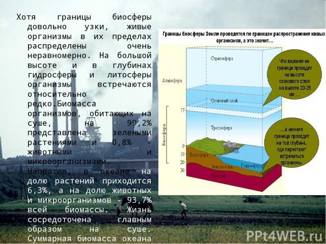 Хотя границы биосферы довольно узки, живые организмы в их пределах распределены очень неравномерно. На большой высоте и в глубинах гидросферы и литосферы организмы встречаются относительно редко.Биомасса организмов, обитающих на суше, на 99,2% предс…