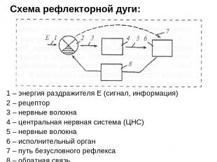 Схема рефлекторной дуги: 1 – энергия раздражителя Е (сигнал, информация) 2 – рец