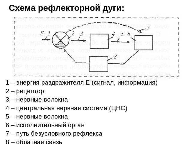 Схема рефлекторной дуги: 1 – энергия раздражителя Е (сигнал, информация) 2 – рецептор 3 – нервные волокна 4 – центральная нервная система (ЦНС) 5 – нервные волокна 6 – исполнительный орган 7 – путь безусловного рефлекса 8 – обратная связь