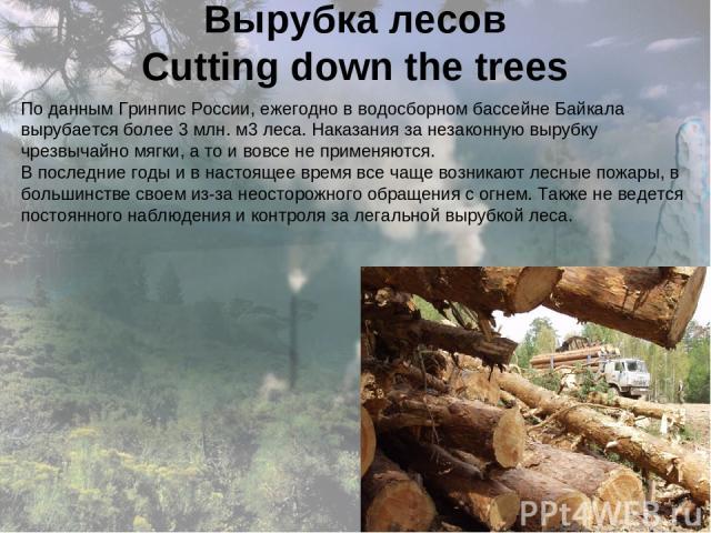 Вырубка лесов Cutting down the trees По данным Гринпис России, ежегодно в водосборном бассейне Байкала вырубается более 3 млн. м3 леса. Наказания за незаконную вырубку чрезвычайно мягки, а то и вовсе не применяются. В последние годы и в настоящее вр…