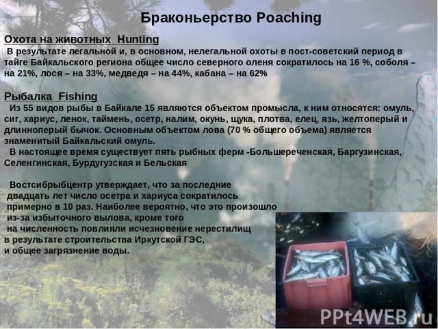 Браконьерство Poaching Охота на животных Hunting В результате легальной и, в основном, нелегальной охоты в пост-советский период в тайге Байкальского региона общее число северного оленя сократилось на 16 %, соболя – на 21%, лося – на 33%, медведя – …