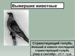Странствующий голубь. Живший в неволе последний странствующий голубь умер в сент
