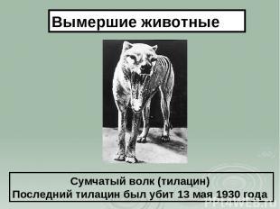 Сумчатый волк (тилацин) Последний тилацин был убит 13 мая 1930 года Вымершие жив