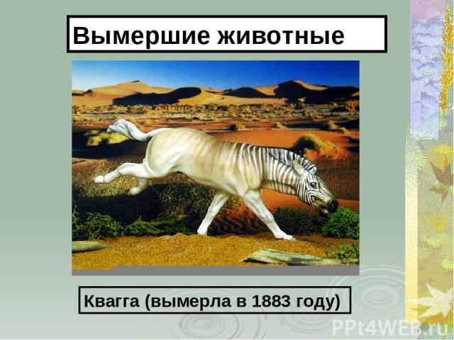 Квагга (вымерла в 1883 году) Вымершие животные